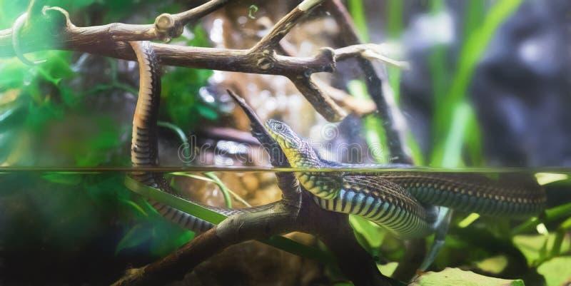 Podwiązka wąż zdjęcie royalty free