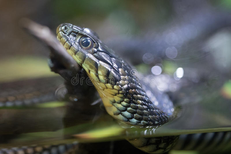 Podwiązka wąż zdjęcia stock