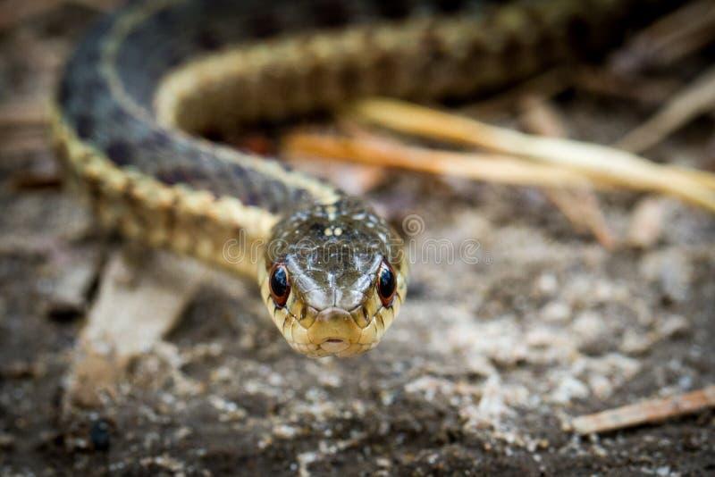 Podwiązka węża głowy strzał fotografia stock