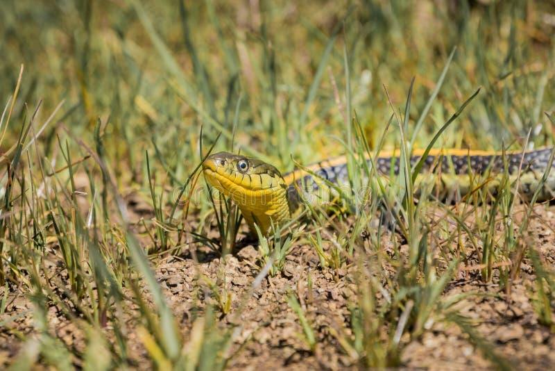 Podwiązka węża Thamnophis atratus zaxanthus wygrzewa się w słońcu na gorącym dniu, San Francisco zatoka, Kalifornia obrazy royalty free