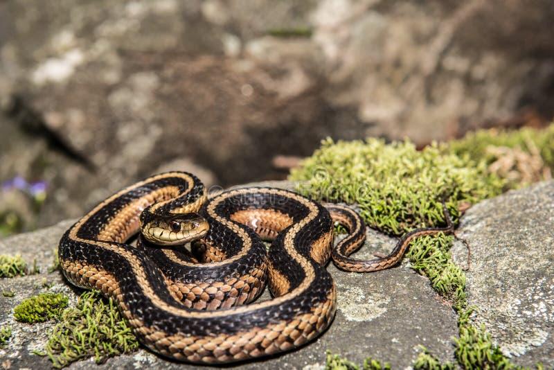 Podwiązka wschodni Wąż (Thamnophis sauritus) obrazy stock