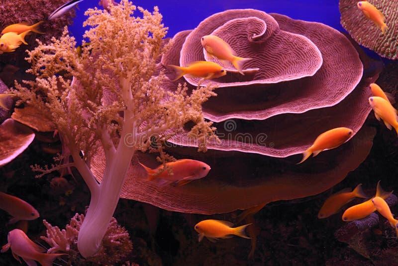 Podwodni korale i Czerwona Denna ryba obrazy royalty free