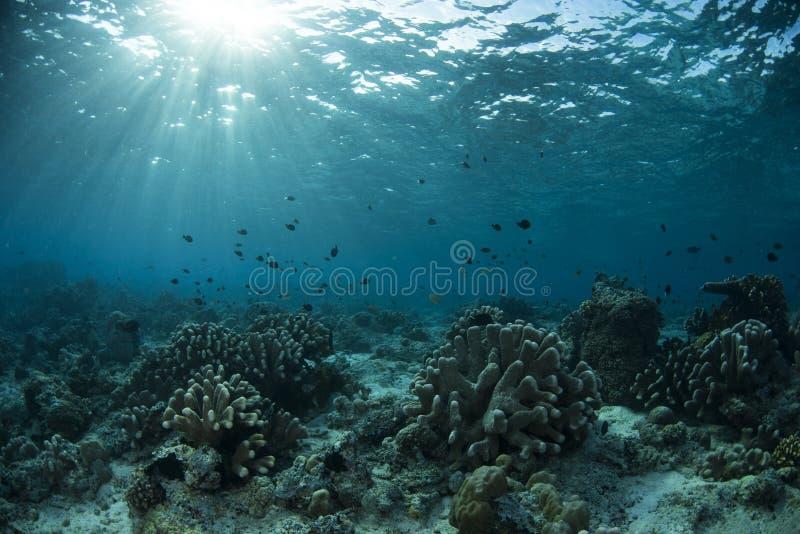 Podwodny życie Sipadan wyspa obraz stock