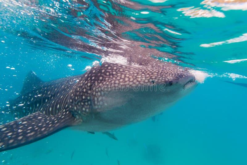 Podwodny krótkopęd gigantyczni wielorybi rekiny (Rhincodon typus) obraz royalty free