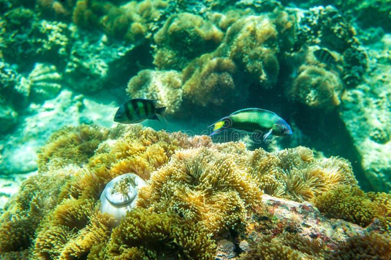 Podwodny krótkopęd rafa koralowa obraz royalty free