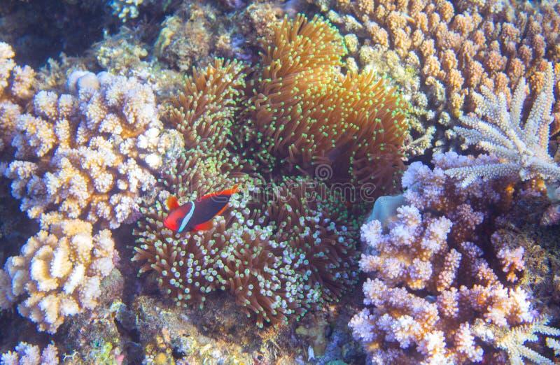 Podwodny krajobraz z tropikalną ryba Clownfish w aktynach Tropikalnego seashore podwodna fotografia zdjęcia stock
