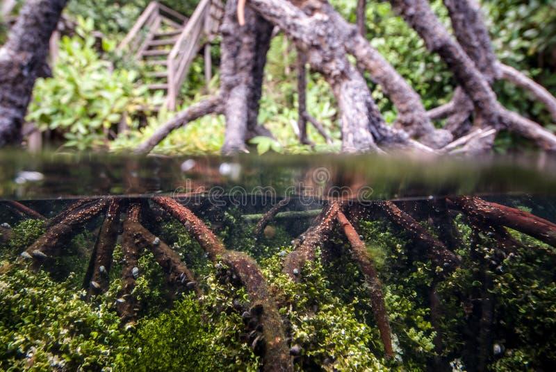 Podwodny mangrowe w Kakaban, Derawan, Kalimantan, Indonezja fotografia royalty free