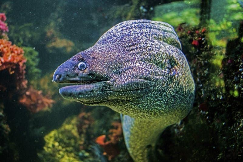 Podwodny portret muraena ryba obrazy stock