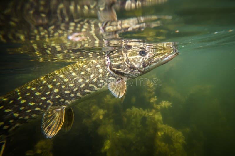 Podwodny szczupak zdjęcie royalty free