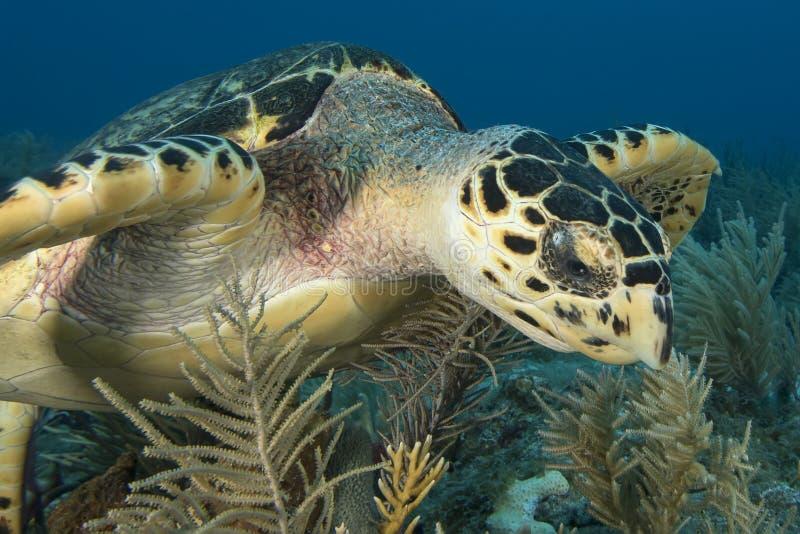 Podwodny wizerunek dennego żółwia twarz fotografia royalty free