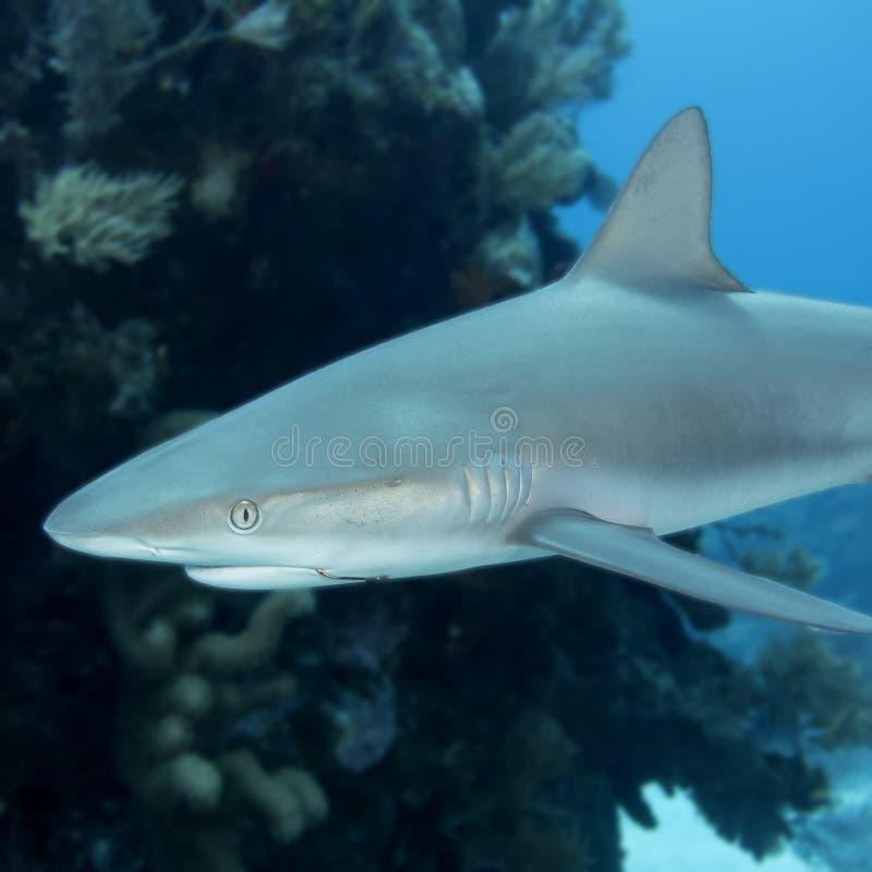 Podwodny wizerunek rafowy rekin z fishhook obraz royalty free