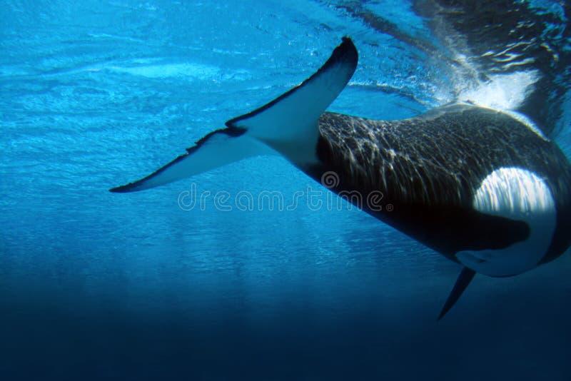 podwodny zabójcy wieloryb zdjęcie stock