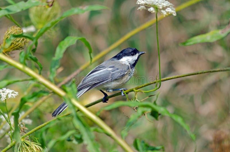 poecile atricapilla för Svart-korkad Chickadee fotografering för bildbyråer