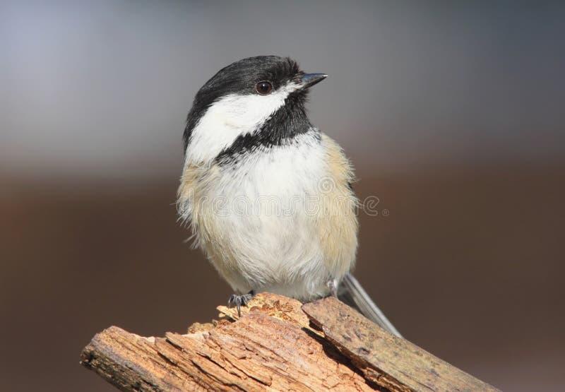 poecile capped chickadee för atricapilla black fotografering för bildbyråer