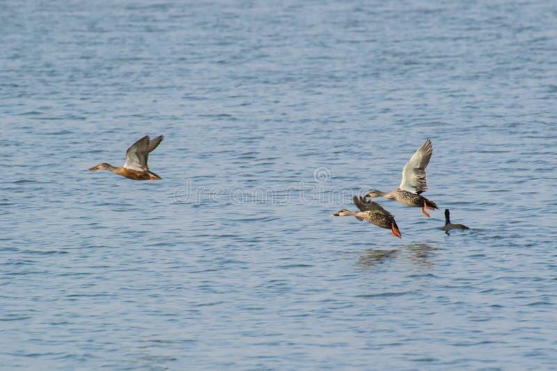 Poecilorhyncha die van Spotbilledduck anas over meer vliegen royalty-vrije stock foto's