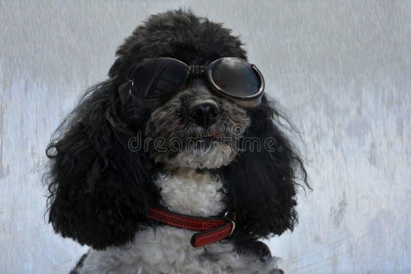 Poedel die zonnebril dragen royalty-vrije stock afbeeldingen