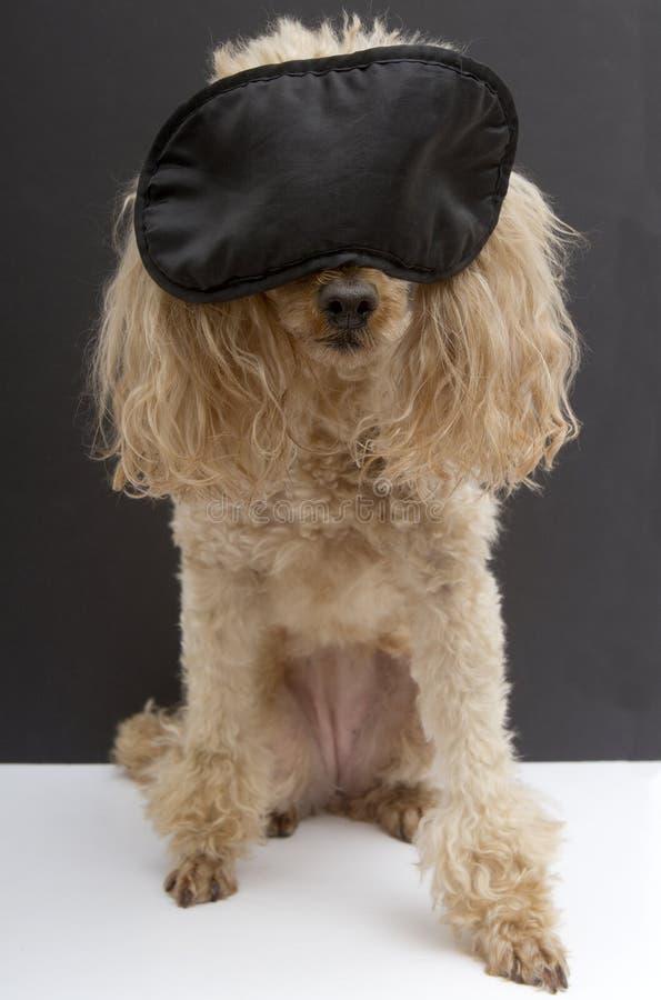 Poedel die Zwart Slaapmasker dragen royalty-vrije stock foto