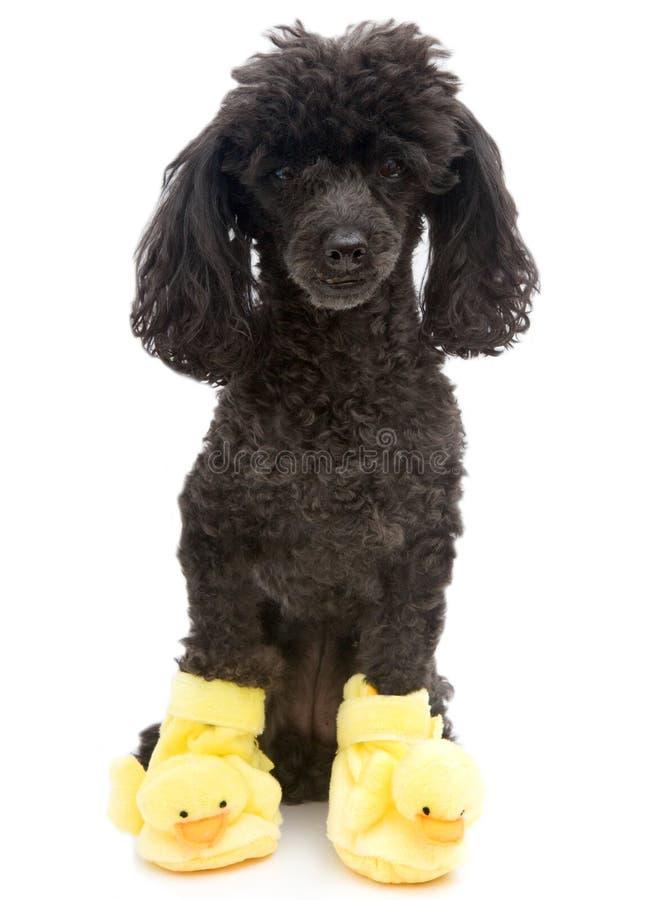Poedel in Geel Duck Slippers stock fotografie
