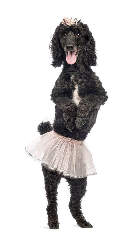 Poedel, 5 jaar oud, status, het dansen stock afbeeldingen