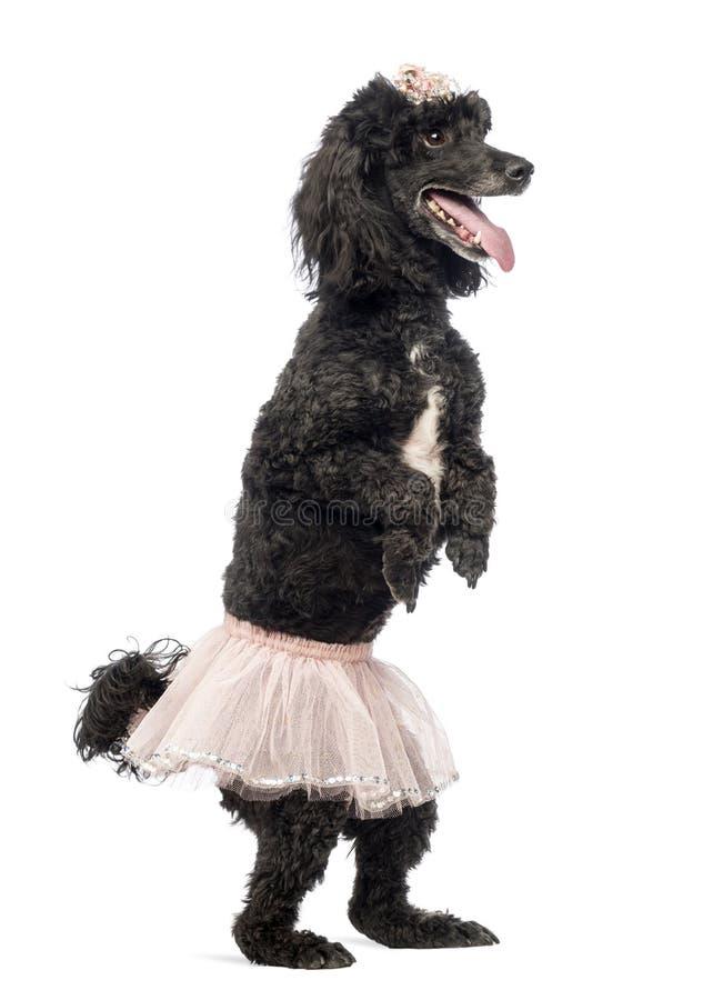 Poedel, 5 jaar oud, status, het dansen royalty-vrije stock fotografie