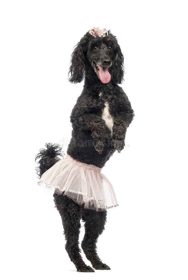 Poedel, 5 jaar oud, status, het dansen stock afbeelding