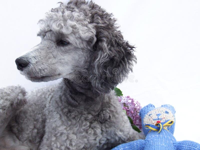 Poedelhond met teddy en lilac, portret stock fotografie