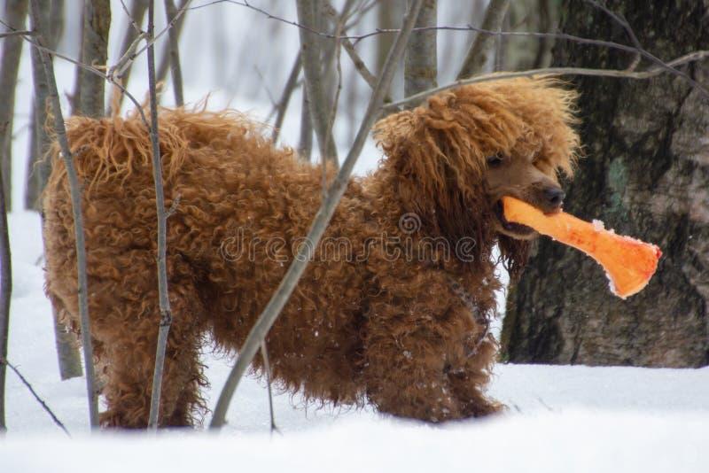 Poedelpuppy in het sneeuwbos stock foto's