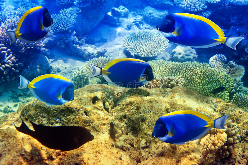 Poeder blauw zweempje in koralen. De Maldiven. stock afbeelding