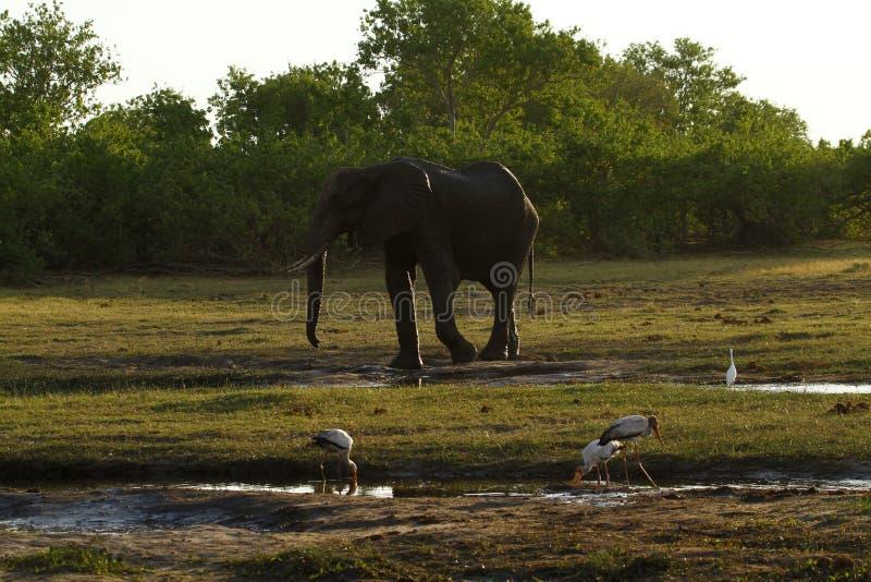 Poeira dos elefantes africanos que banha-se nas planícies imagens de stock royalty free