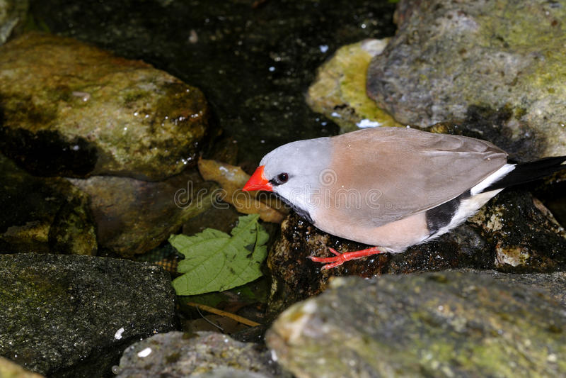 Poephila acuticauda, shaftail finches royalty free stock photos