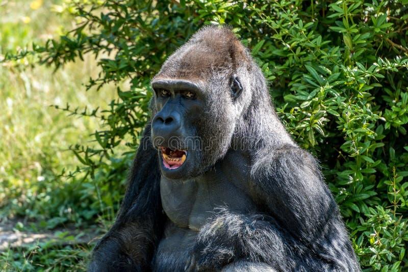 Poeti maschii della gorilla per una foto del ritratto fotografia stock