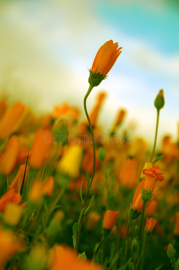 Poetic Flower royalty free stock images