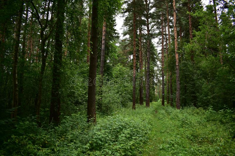 Poetic image of a forest, a dark grey sky, trees drenched in shadow green field. A large number of evergreens stock image
