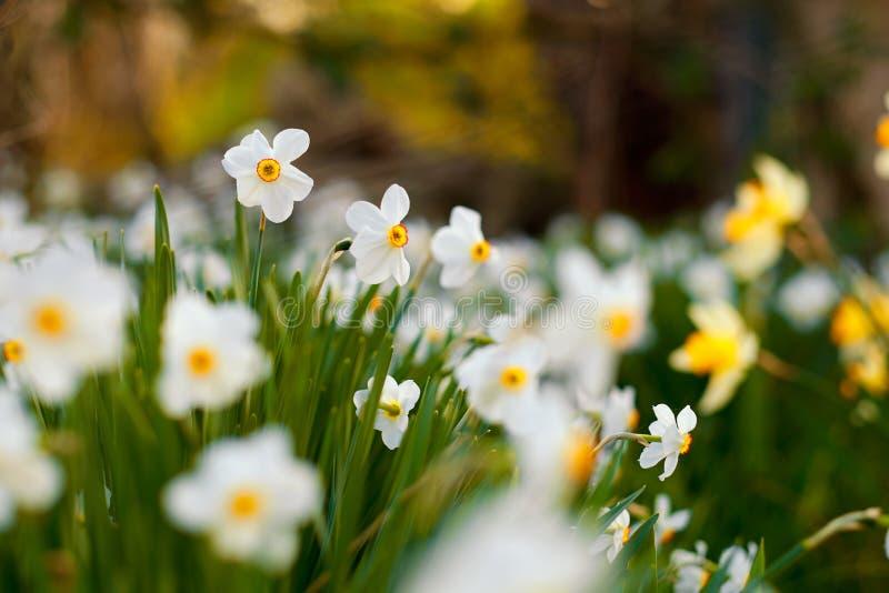 Poets påsklilja i trädgården fotografering för bildbyråer