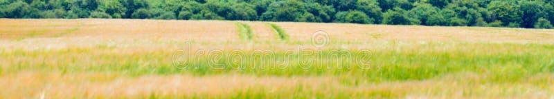 Pofalowany kukurydzany pole zdjęcie stock