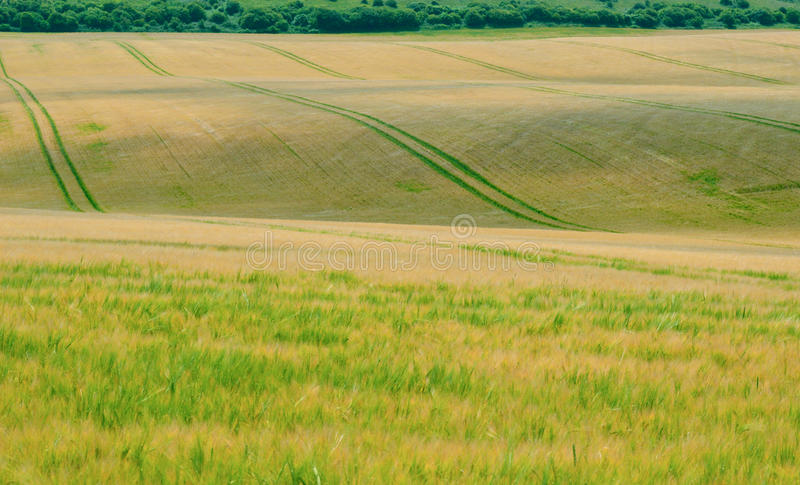 Pofalowany kukurydzany pole 2 zdjęcia stock