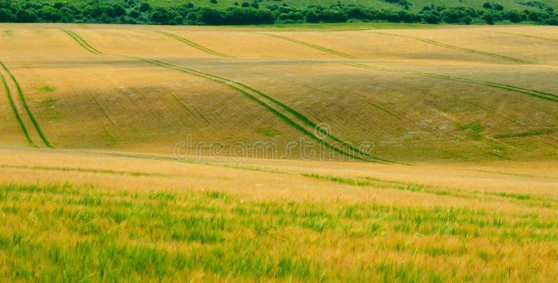 Pofalowany kukurydzany pole 3 zdjęcie stock