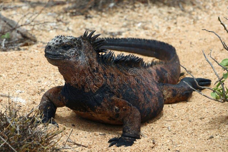 Pogodna Morska iguana obraz royalty free