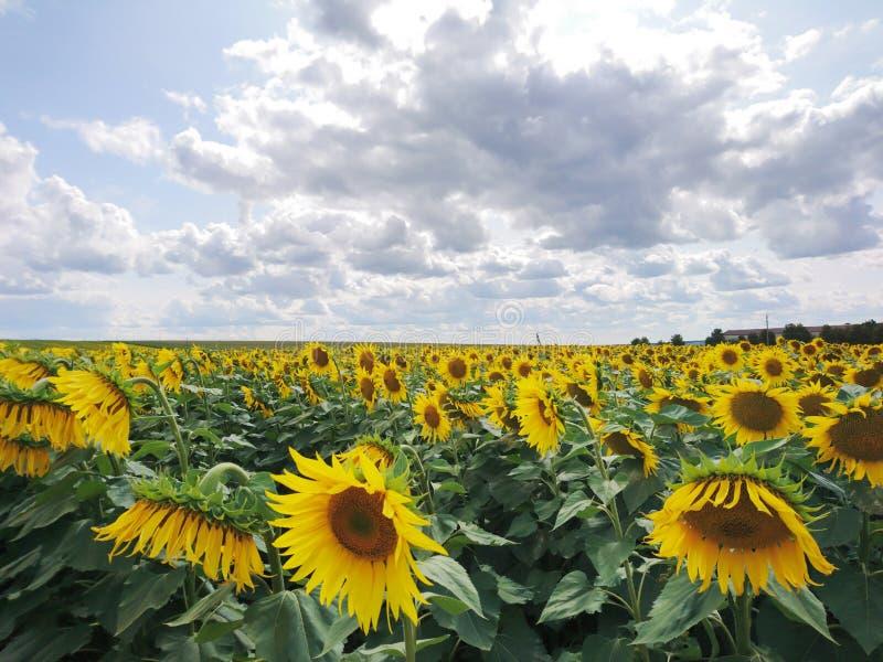 Pogodnego rolnictwa pola lata słonecznika krajobrazu żółta natura obrazy royalty free