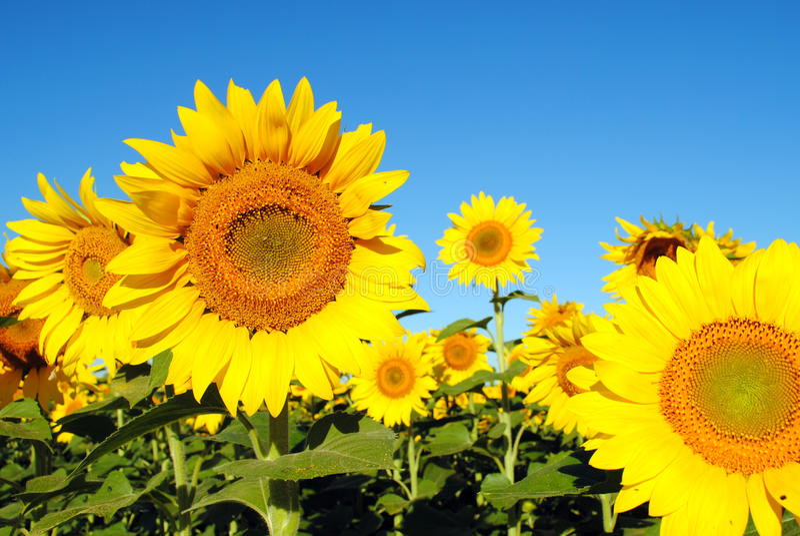pogodni dzień słoneczniki obraz royalty free