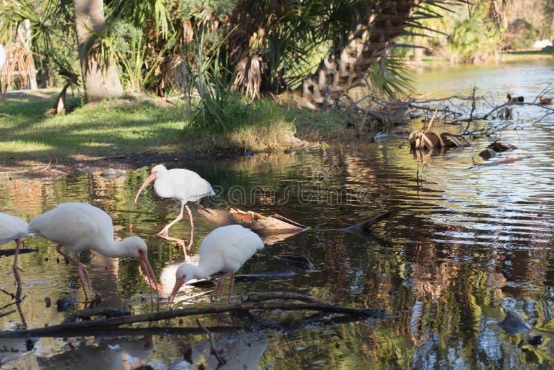 Pogodny światło reflektorów na ibisie w płytkiej wodzie fotografia royalty free