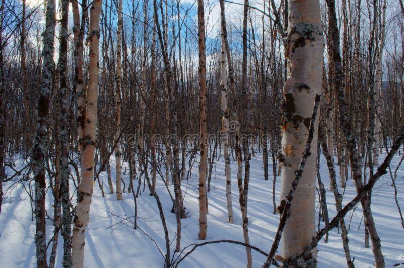 Pogodny brzozy drzewa las w śnieżnym wiosna czasie fotografia royalty free