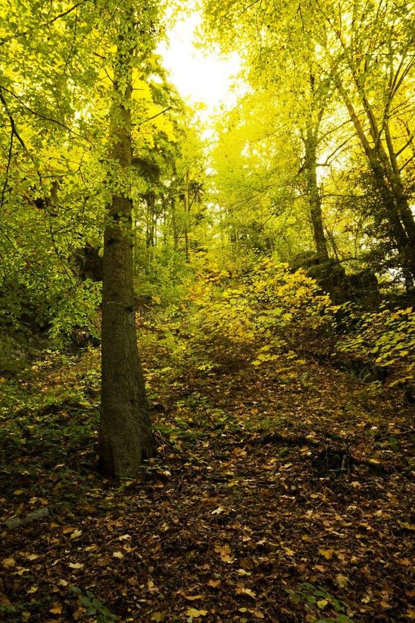 Pogodny bukowego drzewa las w spadku obraz stock