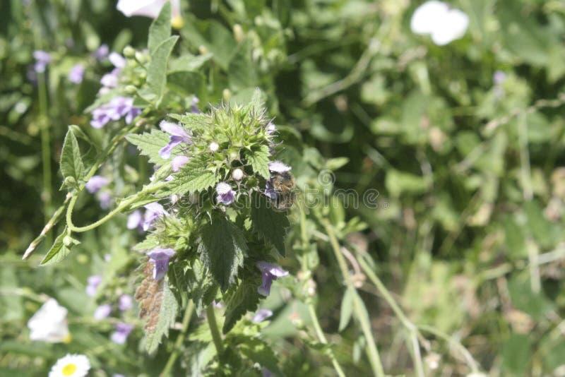 Pogodny purpura kwiat, pszczoła i zdjęcia stock