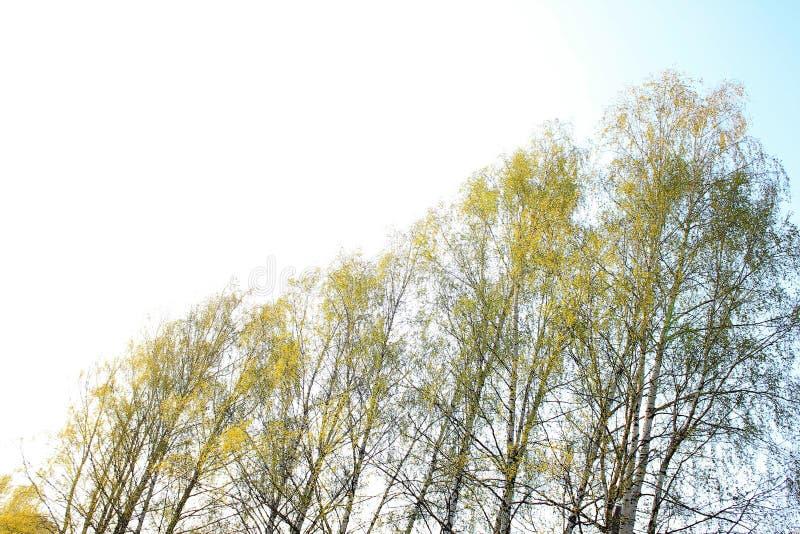 Pogodny wiosny niebo, brzozy i fotografia royalty free