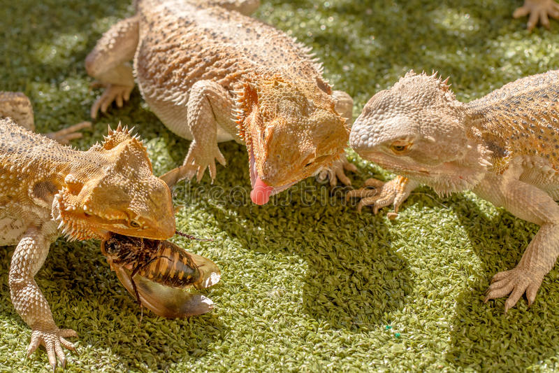 Pogona争夺食物的Vitticeps 库存照片