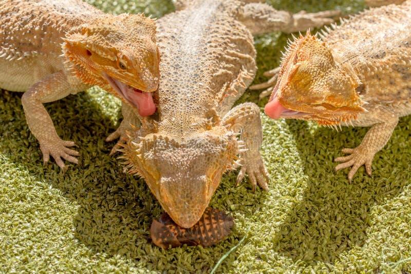 Pogona争夺食物的Vitticeps 免版税库存图片