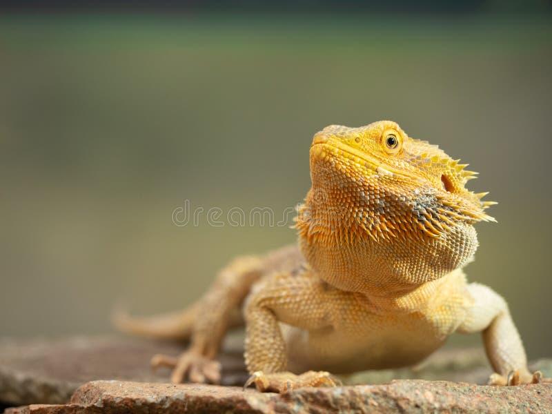 Pogona или бородатый дракон стоковое изображение rf