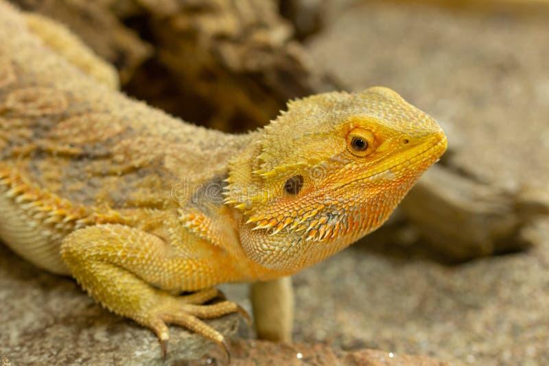 Pogona или бородатый дракон стоковые фотографии rf