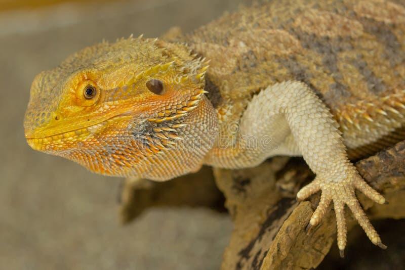 Pogona или бородатый дракон стоковые фото